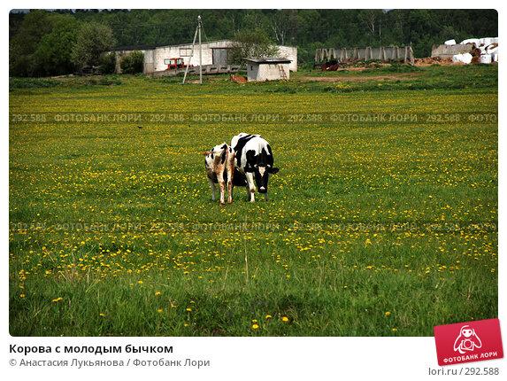 Корова с молодым бычком, фото № 292588, снято 18 мая 2008 г. (c) Анастасия Лукьянова / Фотобанк Лори