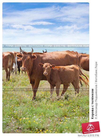 Корова с телёнком, фото № 2513116, снято 22 июля 2009 г. (c) Александр Подшивалов / Фотобанк Лори