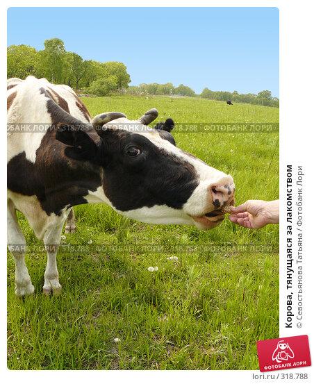 Корова, тянущаяся за лакомством, фото № 318788, снято 24 мая 2008 г. (c) Севостьянова Татьяна / Фотобанк Лори