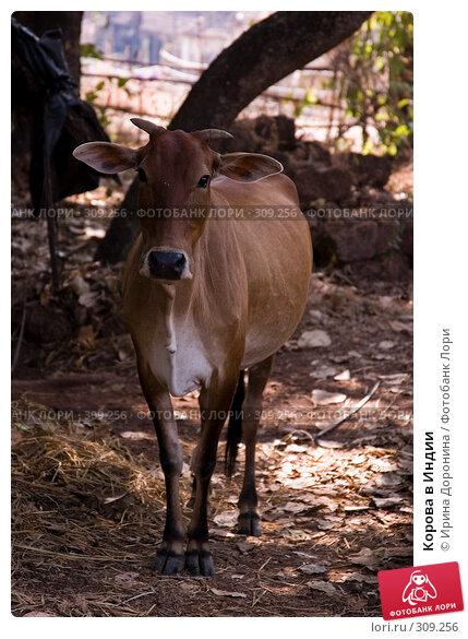 Корова в Индии, фото № 309256, снято 3 января 2008 г. (c) Ирина Доронина / Фотобанк Лори