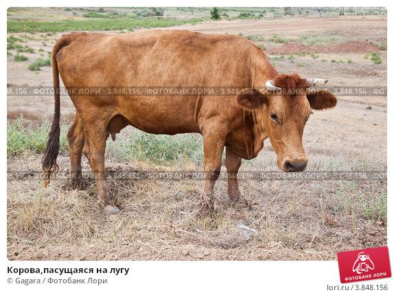Купить «Корова,пасущаяся на лугу», эксклюзивное фото № 3848156, снято 5 августа 2012 г. (c) Gagara / Фотобанк Лори
