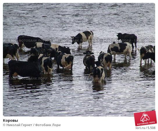Коровы, фото № 5508, снято 19 июля 2005 г. (c) Николай Гернет / Фотобанк Лори