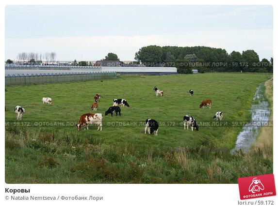 Коровы, эксклюзивное фото № 59172, снято 1 июля 2007 г. (c) Natalia Nemtseva / Фотобанк Лори
