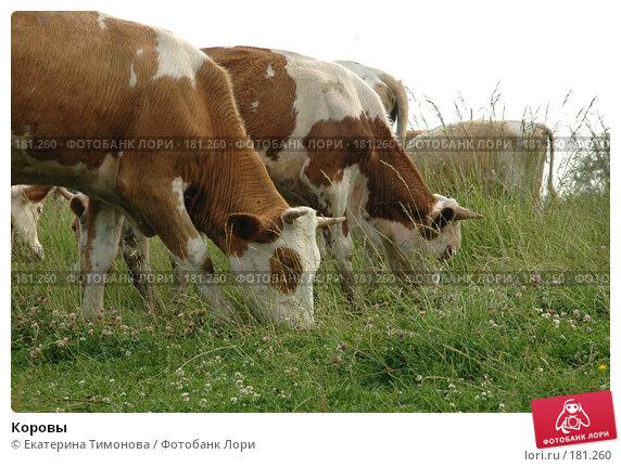 Коровы, фото № 181260, снято 26 июня 2017 г. (c) Екатерина Тимонова / Фотобанк Лори