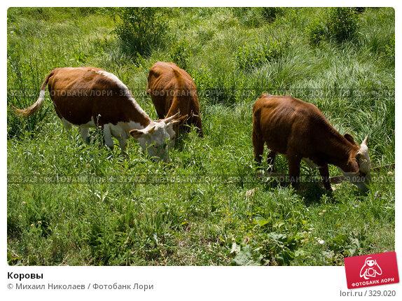 Купить «Коровы», фото № 329020, снято 19 июня 2008 г. (c) Михаил Николаев / Фотобанк Лори