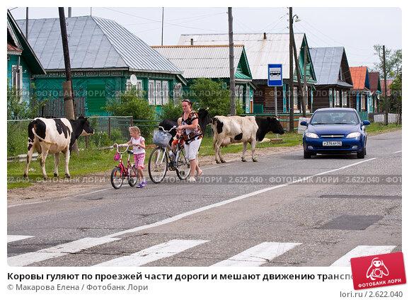 Коровы гуляют по проезжей дороге и мешают движению транспорта (2011 год). Редакционное фото, фотограф Макарова Елена / Фотобанк Лори