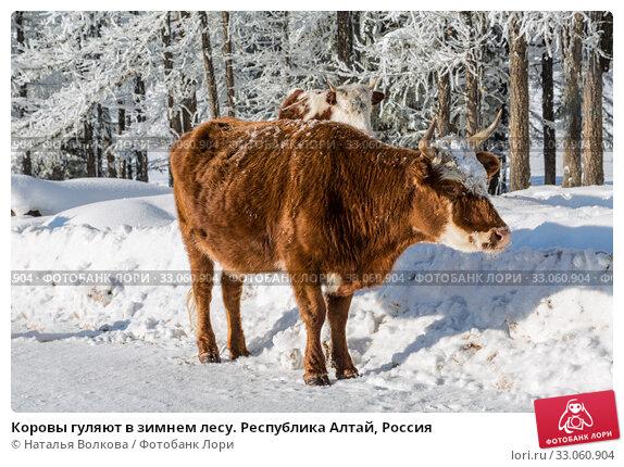Купить «Коровы гуляют в зимнем лесу. Республика Алтай, Россия», фото № 33060904, снято 27 января 2020 г. (c) Наталья Волкова / Фотобанк Лори