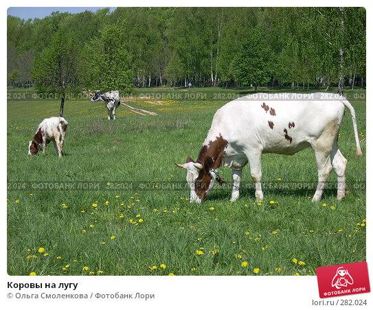 Купить «Коровы на лугу», фото № 282024, снято 12 мая 2008 г. (c) Ольга Смоленкова / Фотобанк Лори