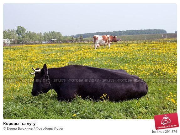 Коровы на лугу, фото № 291876, снято 19 мая 2008 г. (c) Елена Блохина / Фотобанк Лори