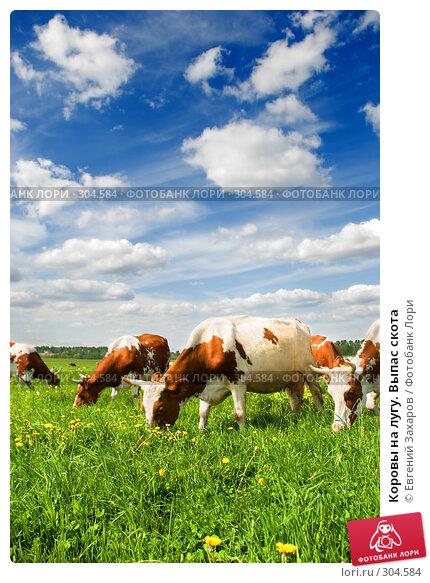 Коровы на лугу. Выпас скота, фото № 304584, снято 28 мая 2008 г. (c) Евгений Захаров / Фотобанк Лори