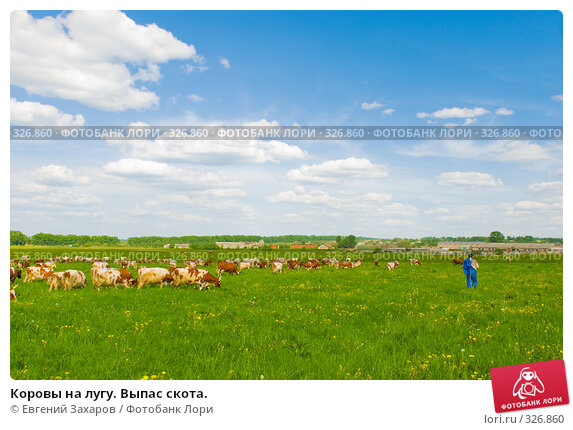 Коровы на лугу. Выпас скота., фото № 326860, снято 28 мая 2008 г. (c) Евгений Захаров / Фотобанк Лори