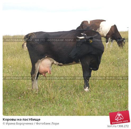 Купить «Коровы на пастбище», фото № 308272, снято 20 июня 2007 г. (c) Ирина Борсученко / Фотобанк Лори
