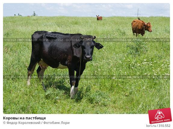 Купить «Коровы на пастбище», фото № 310552, снято 4 июня 2008 г. (c) Федор Королевский / Фотобанк Лори