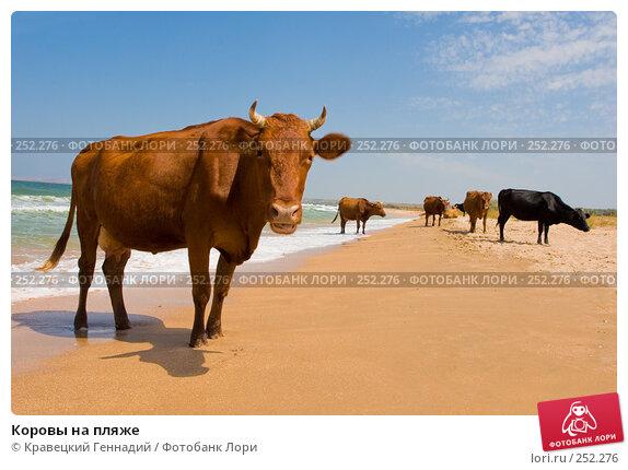 Коровы на пляже, фото № 252276, снято 16 августа 2005 г. (c) Кравецкий Геннадий / Фотобанк Лори