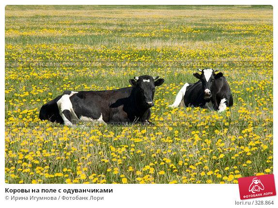 Коровы на поле с одуванчиками, фото № 328864, снято 8 июня 2008 г. (c) Ирина Игумнова / Фотобанк Лори