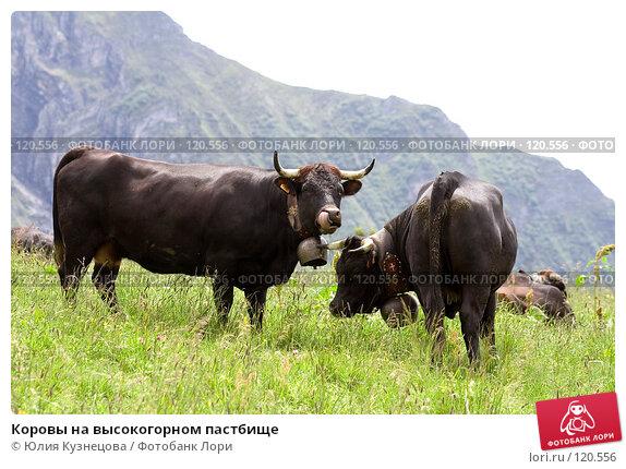 Коровы на высокогорном пастбище, фото № 120556, снято 28 июня 2007 г. (c) Юлия Кузнецова / Фотобанк Лори