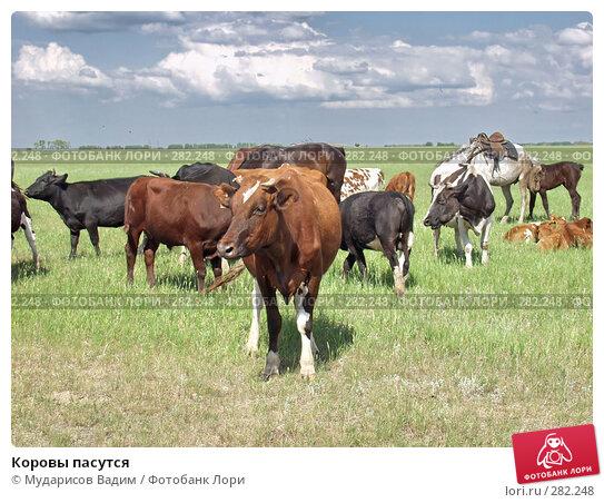Коровы пасутся, фото № 282248, снято 26 июля 2017 г. (c) Мударисов Вадим / Фотобанк Лори
