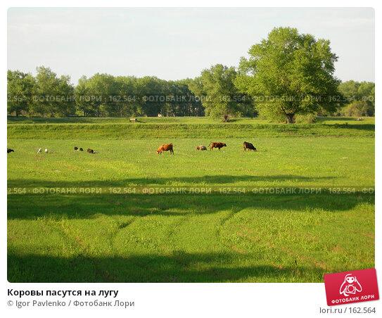 Коровы пасутся на лугу, фото № 162564, снято 14 мая 2006 г. (c) Igor Pavlenko / Фотобанк Лори