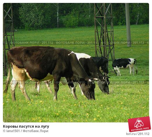 Коровы пасутся на лугу, эксклюзивное фото № 291112, снято 18 мая 2008 г. (c) lana1501 / Фотобанк Лори