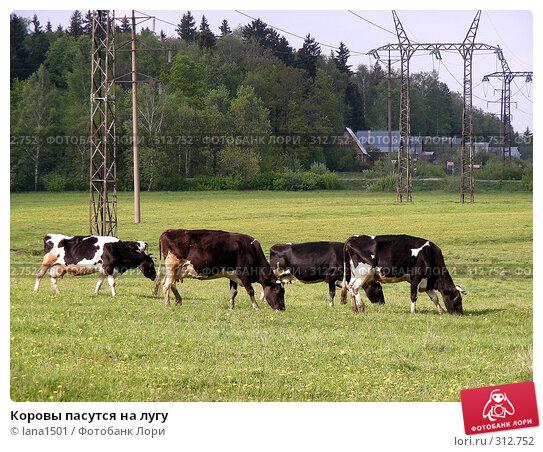 Коровы пасутся на лугу, эксклюзивное фото № 312752, снято 18 мая 2008 г. (c) lana1501 / Фотобанк Лори