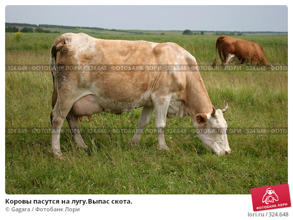 Купить «Коровы пасутся на лугу.Выпас скота.», фото № 324648, снято 8 октября 2007 г. (c) Gagara / Фотобанк Лори
