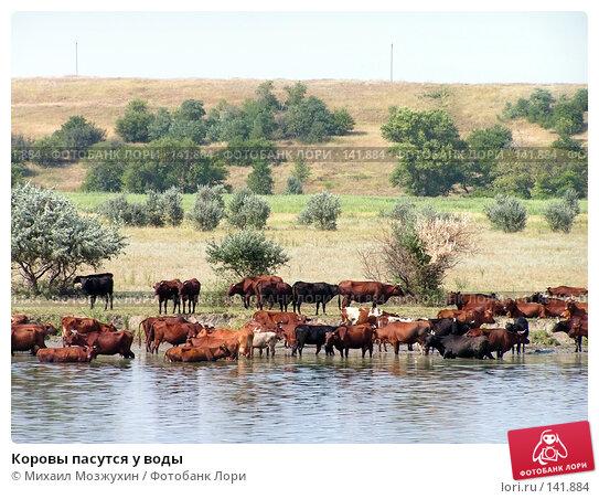 Коровы пасутся у воды, фото № 141884, снято 8 августа 2006 г. (c) Михаил Мозжухин / Фотобанк Лори
