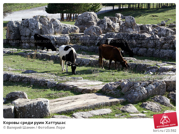 Коровы среди руин Хаттушас, фото № 23592, снято 9 ноября 2006 г. (c) Валерий Шанин / Фотобанк Лори
