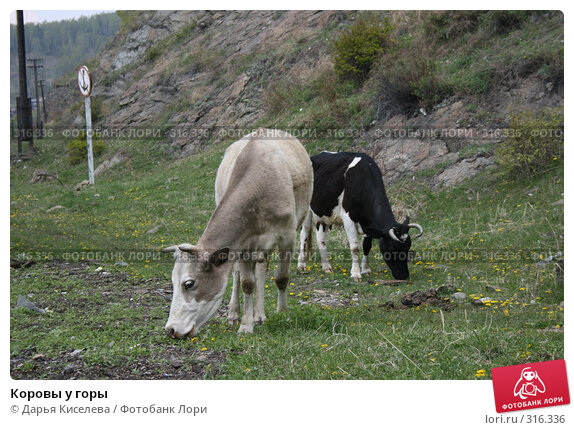 Купить «Коровы у горы», фото № 316336, снято 31 мая 2008 г. (c) Дарья Киселева / Фотобанк Лори