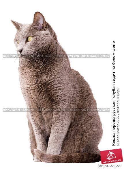 Кошка породы русская голубая сидит на белом фоне, фото № 229220, снято 8 марта 2008 г. (c) Алла Матвейчик / Фотобанк Лори