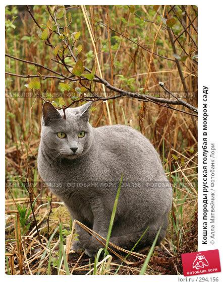 Кошка породы русская голубая в мокром саду, фото № 294156, снято 18 мая 2008 г. (c) Алла Матвейчик / Фотобанк Лори