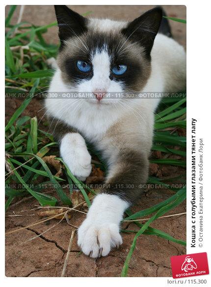 Кошка с голубыми глазами тянет лапу, фото № 115300, снято 18 августа 2006 г. (c) Останина Екатерина / Фотобанк Лори