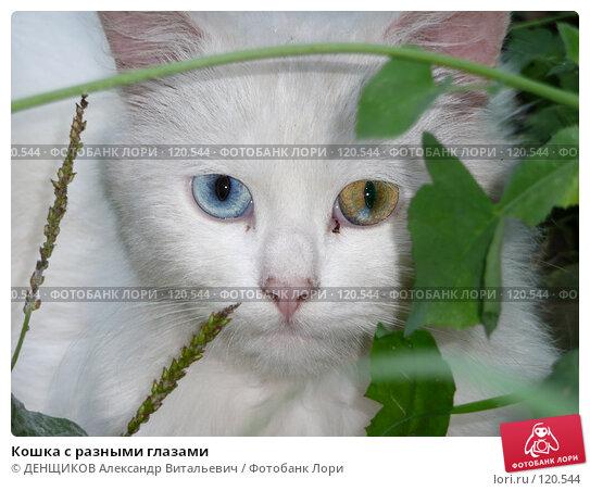 Кошка с разными глазами, фото № 120544, снято 17 августа 2007 г. (c) ДЕНЩИКОВ Александр Витальевич / Фотобанк Лори