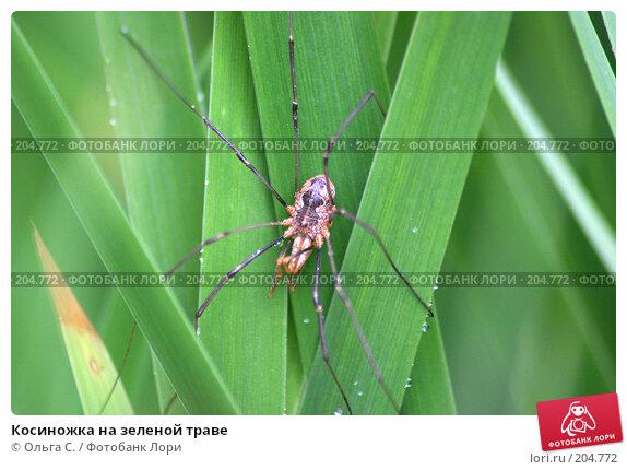 Косиножка на зеленой траве, фото № 204772, снято 7 августа 2006 г. (c) Ольга С. / Фотобанк Лори