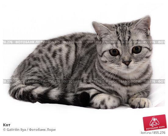 Купить «Кот», фото № 855276, снято 18 сентября 2008 г. (c) GaVrilin Ilya / Фотобанк Лори