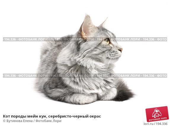 Кот породы мейн кун, серебристо-черный окрас, фото № 194336, снято 5 февраля 2008 г. (c) Бутинова Елена / Фотобанк Лори