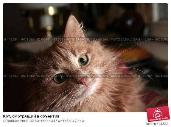 Кот, смотрящий в объектив, фото № 43564, снято 30 января 2007 г. (c) Донцов Евгений Викторович / Фотобанк Лори