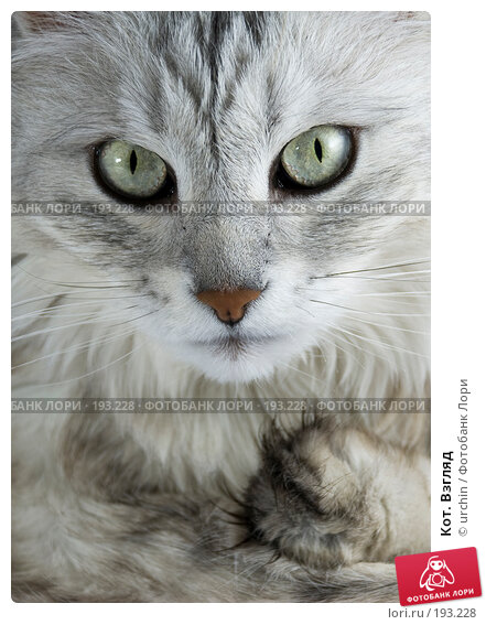 Кот. Взгляд, фото № 193228, снято 2 февраля 2008 г. (c) urchin / Фотобанк Лори