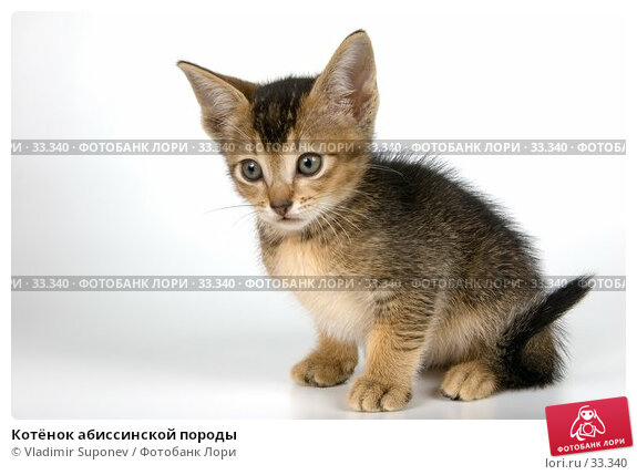 Котёнок абиссинской породы, фото № 33340, снято 31 марта 2007 г. (c) Vladimir Suponev / Фотобанк Лори
