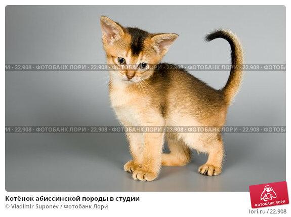 Котёнок абиссинской породы в студии, фото № 22908, снято 15 февраля 2007 г. (c) Vladimir Suponev / Фотобанк Лори