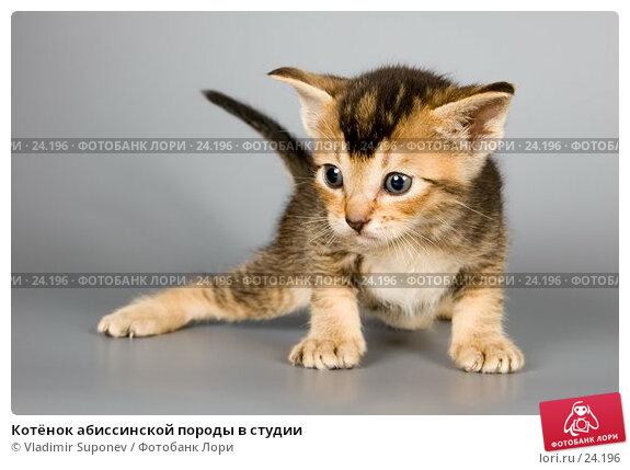 Котёнок абиссинской породы в студии, фото № 24196, снято 10 марта 2007 г. (c) Vladimir Suponev / Фотобанк Лори