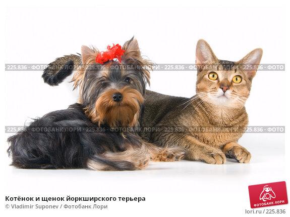 Котёнок и щенок йоркширского терьера, фото № 225836, снято 11 декабря 2007 г. (c) Vladimir Suponev / Фотобанк Лори