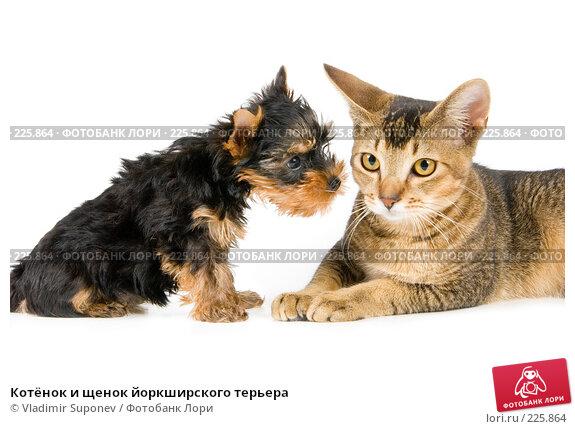Котёнок и щенок йоркширского терьера, фото № 225864, снято 30 августа 2007 г. (c) Vladimir Suponev / Фотобанк Лори