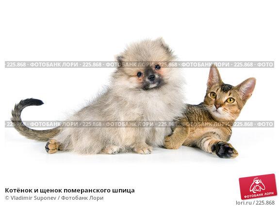 Купить «Котёнок и щенок померанского шпица», фото № 225868, снято 15 сентября 2007 г. (c) Vladimir Suponev / Фотобанк Лори