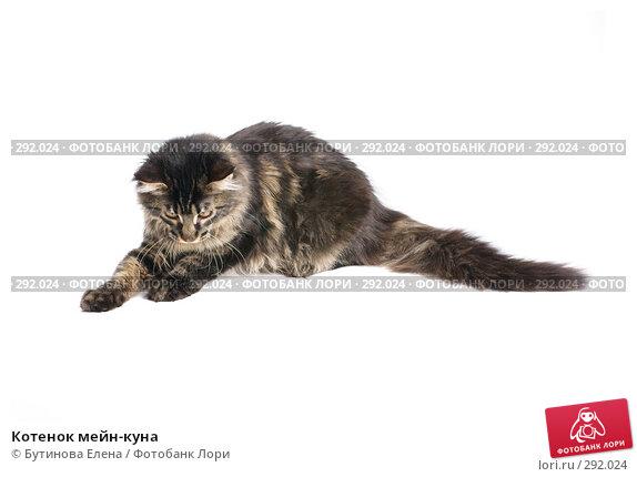 Котенок мейн-куна, фото № 292024, снято 11 мая 2008 г. (c) Бутинова Елена / Фотобанк Лори