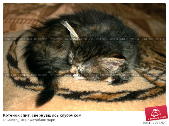 Котенок спит, свернувшись клубочком, фото № 214920, снято 24 ноября 2007 г. (c) Golden_Tulip / Фотобанк Лори