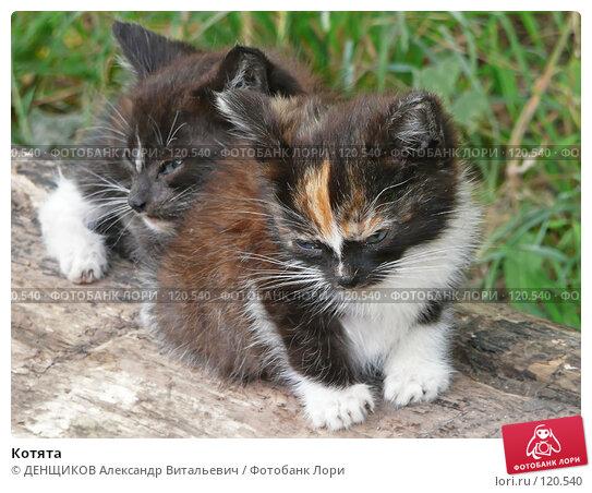 Купить «Котята», фото № 120540, снято 15 августа 2007 г. (c) ДЕНЩИКОВ Александр Витальевич / Фотобанк Лори