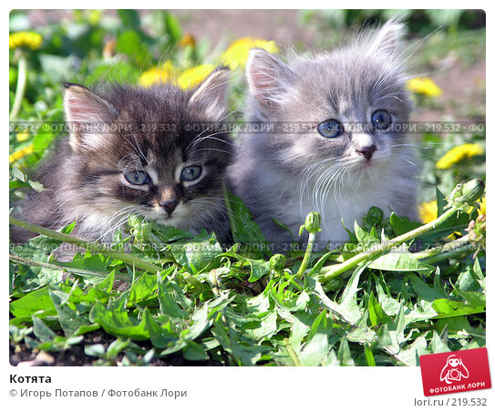 Купить «Котята», фото № 219532, снято 18 декабря 2005 г. (c) Игорь Потапов / Фотобанк Лори