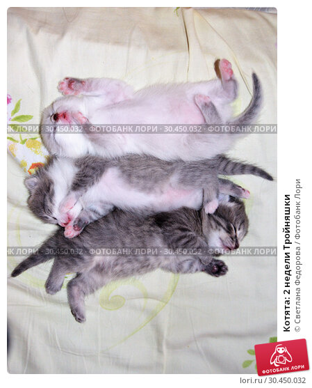 Котята: 2 недели Тройняшки. Стоковое фото, фотограф Светлана Федорова / Фотобанк Лори