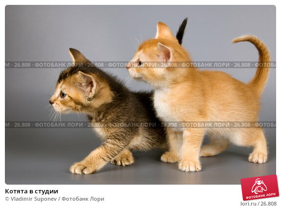 Котята в студии, фото № 26808, снято 17 марта 2007 г. (c) Vladimir Suponev / Фотобанк Лори