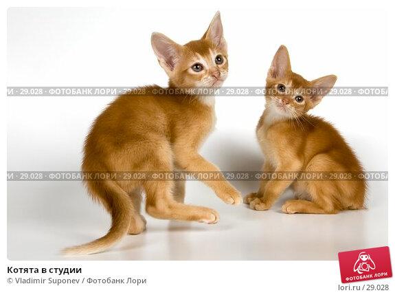 Котята в студии, фото № 29028, снято 31 марта 2007 г. (c) Vladimir Suponev / Фотобанк Лори